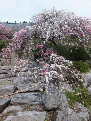 カナメ神宮の源平しだれ桃の開花状況
