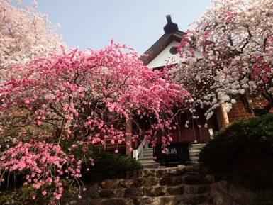 しだれ桃の開花状況