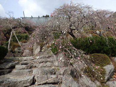 枝垂れ桃開花状況