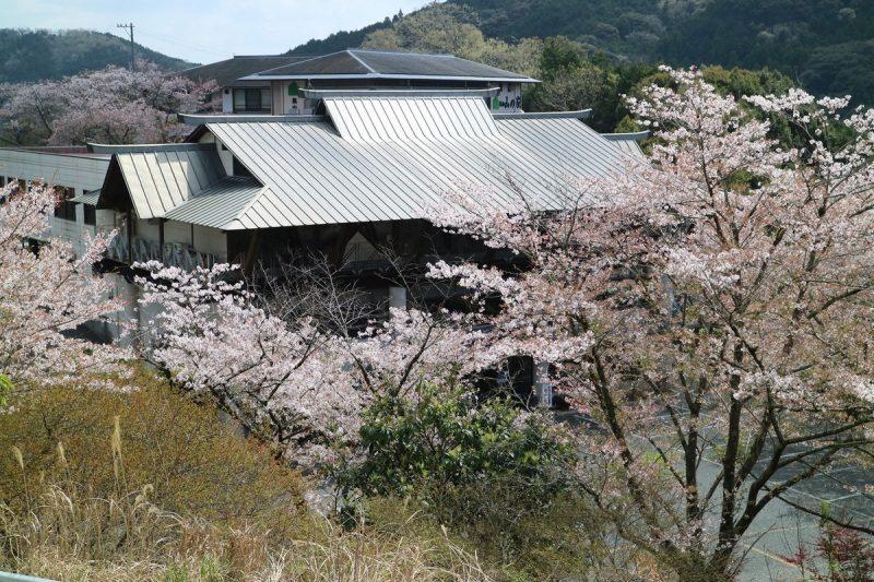 きじ亭の桜