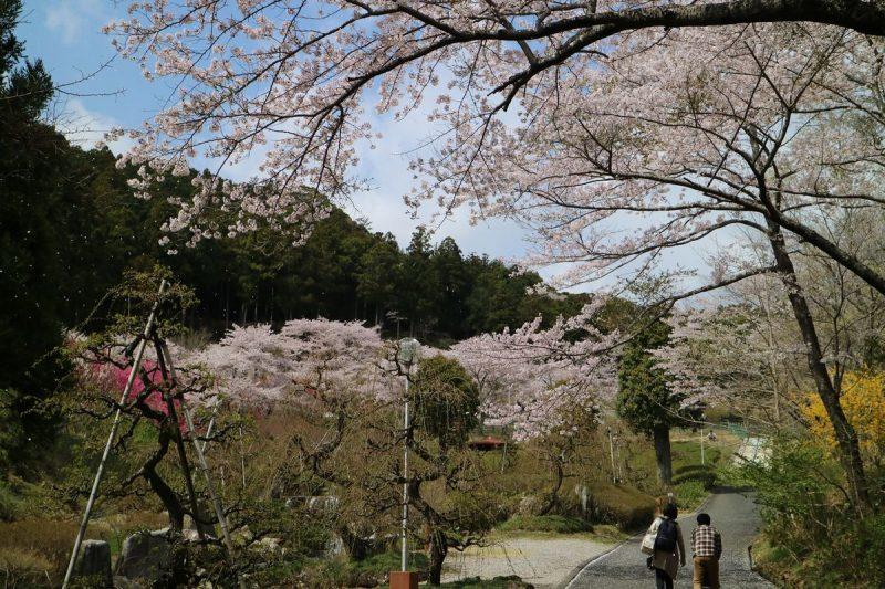 奥山高原の桜