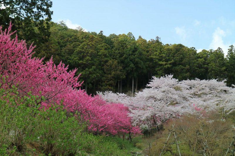 奥山高原の桜・花桃
