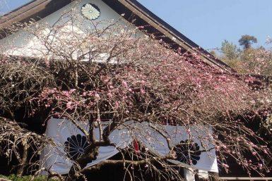カナメ神宮枝垂れ桃開花状況